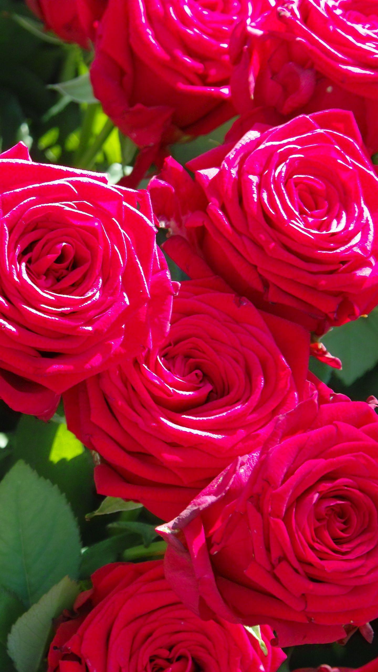 Обои на телефон роза, цветы, бутоны, лепестки, ветки ...  Обои на Телефон Цветы